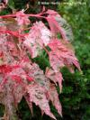 Acer conspicuum 'Red Flamingo' - javor