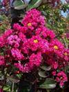 Lagerstroemia 'Pink Velour' ® - lagerstroemie