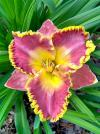 Hemerocallis 'French Lingerie' - denivka