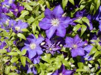 Clematis ´The President´