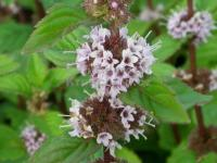 Mentha species 'Ginger' - máta zázvorová