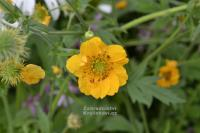 Geum chiloense 'Goldball' - kuklík