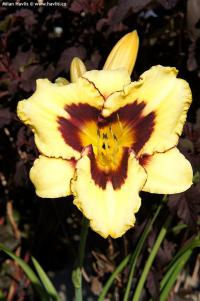 Hemerocallis 'Calico Jack' - denivka