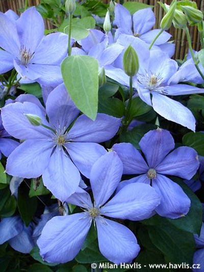 Clematis  'Mrs. Cholmondeley' - plamének
