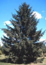 Picea abies: Norway Spruce