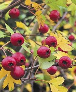 Rostliny crataegus monogyna stricta hloh jednosemenný