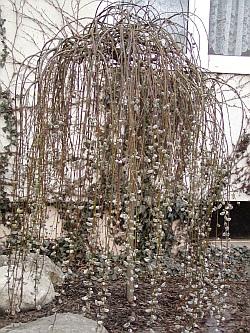 Rostliny salix caprea pendula vrba jíva