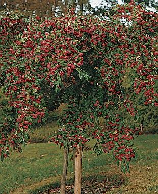 Cotoneaster frigidus cornubia skalník chladnomilný readers