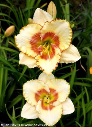 Hemerocallis 'Sixth sense' - denivka