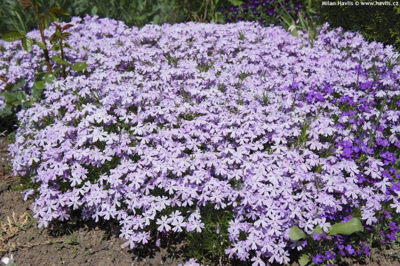 Phlox Emerald Cushion Blue - plaménka, flox: 9538