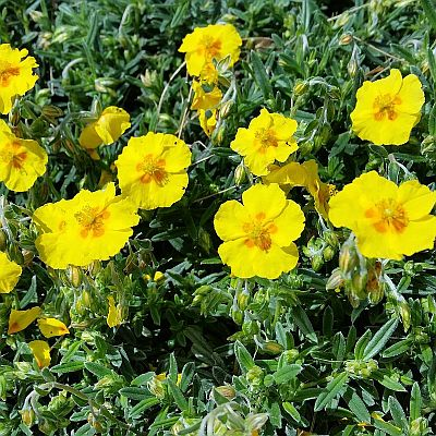 Helianthemum hybridum 'Golden Queen' - devaterník