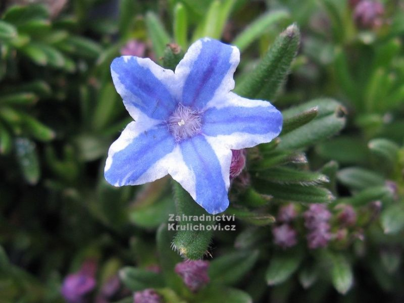 Lithodora diffusa Star - kamejka: 9787