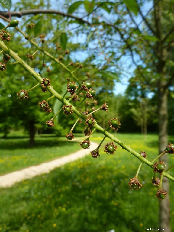 Střemcha obecná - detail (Prunus padus)