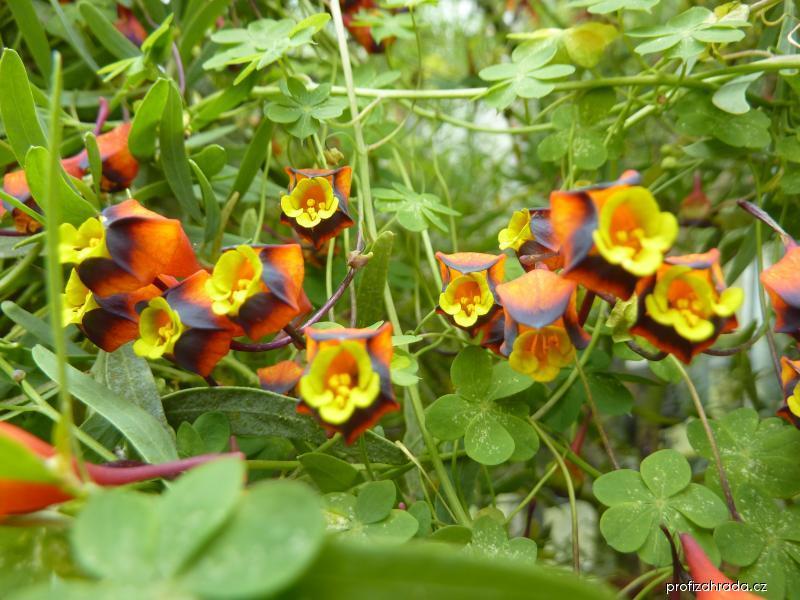 Lichořeřišnice trojbarvá (Tropaeolum tricolor)