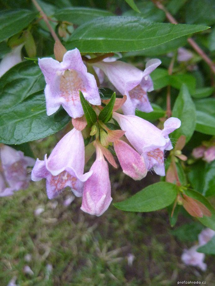 Abélie velkokvětá Dwarf Purple (Abelia grandiflora)