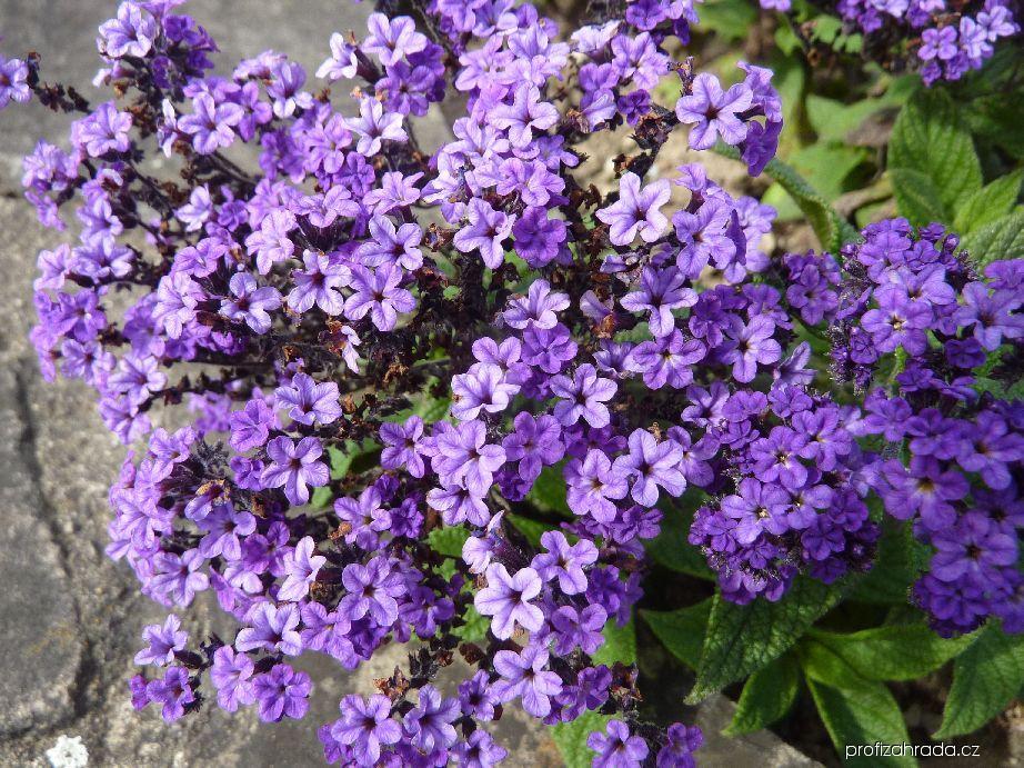 Otočník stromovitý - květ (Heliotropium arborescens)