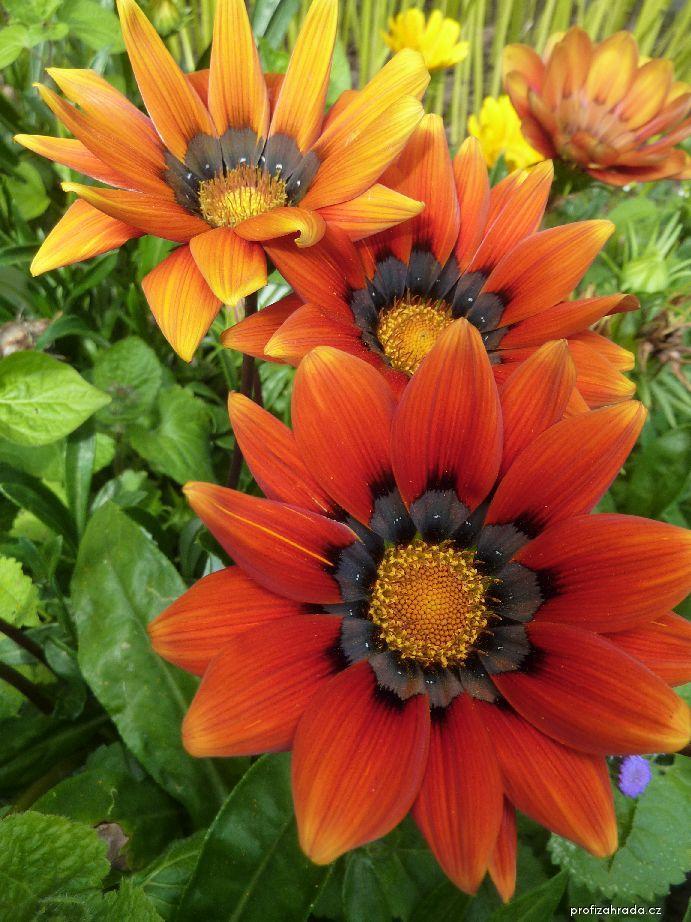 Gazánie zářivá - květ (Gazania rigens)