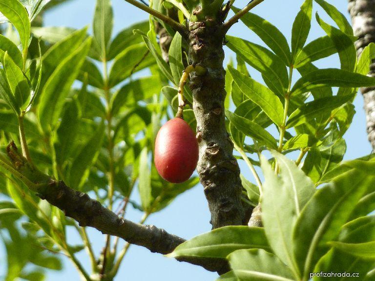 Kafírská švestka - plod (Harpephyllum caffrum)