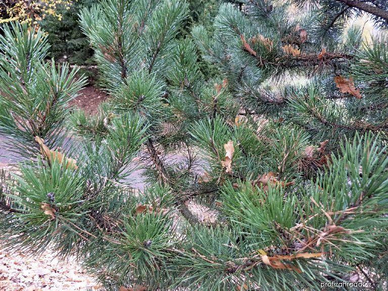 Borovice zobanitá (Pinus uncinata)