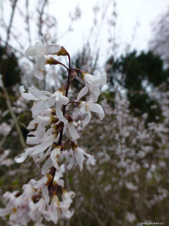 Abeliovník dvouřadý (Abeliophyllum distichum)