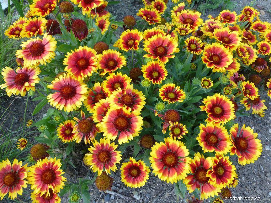 Kokarda Arizona Sun (Gaillardia aristata)