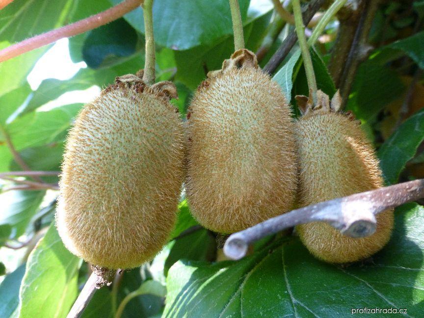 Aktinidie čínská - plod (Actinidia chinensis)