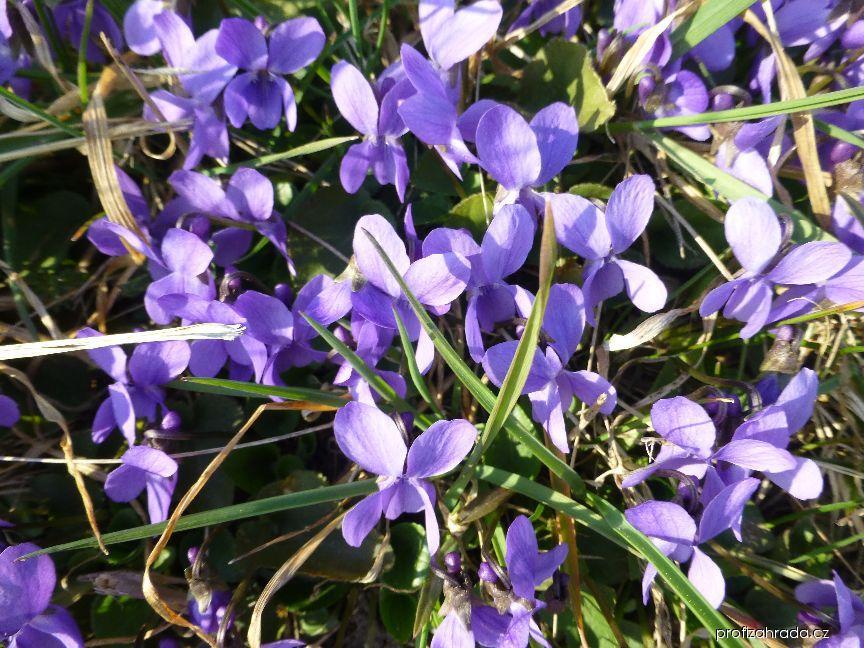 Violka vonná (Viola odorata)