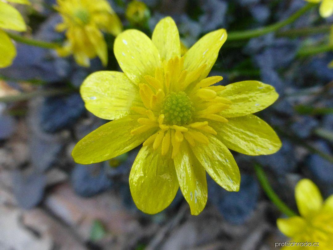 Orsej jarní Brazen Hussy - květ (Ficaria verna)