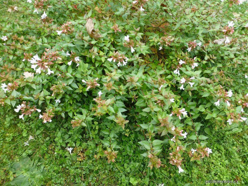 Abélie velkokvětá Sherwood (Abelia grandiflora)