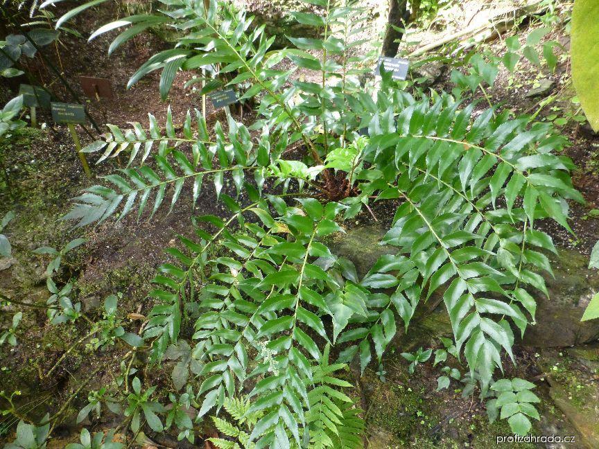 Srpovice (Cyrtomium falcatum)
