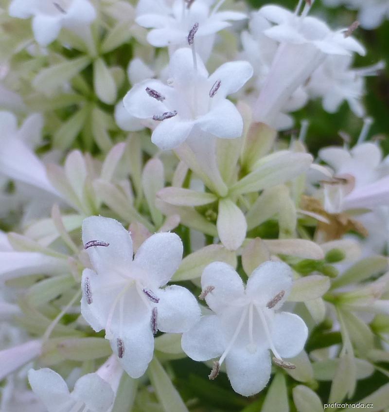 Abélie čínská - květ (Abelia chinensis)