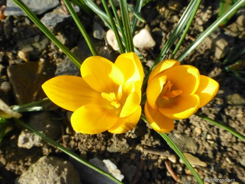 Šafrán zlatý (Crocus chrysanthus Goldilocks)
