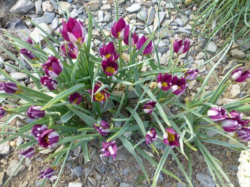 Tulipán Persian Pearl (Tulipa pulchella)