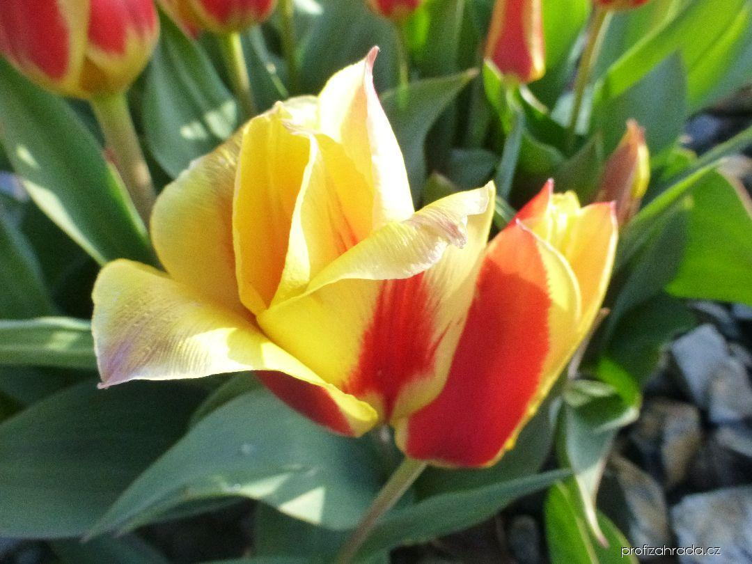 Tulipán Kaufmannův (Tulipa kaufmanniana Little Diamond)