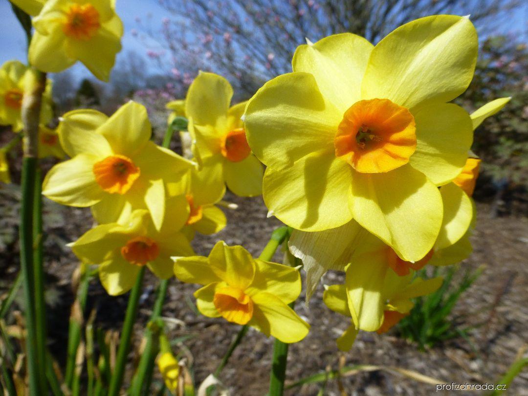 Narcis (Narcissus Martinette)