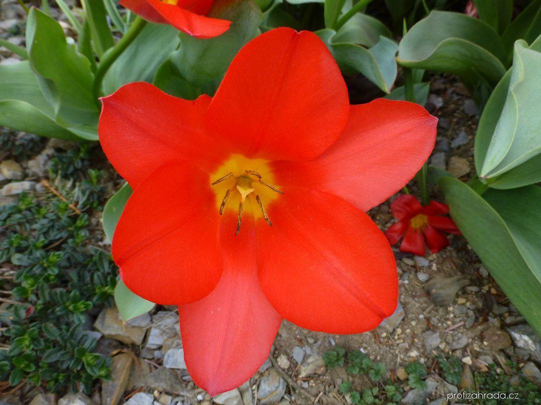 Tulipán Kaufmannův - květ (Tulipa kaufmanniana Shakespeare)