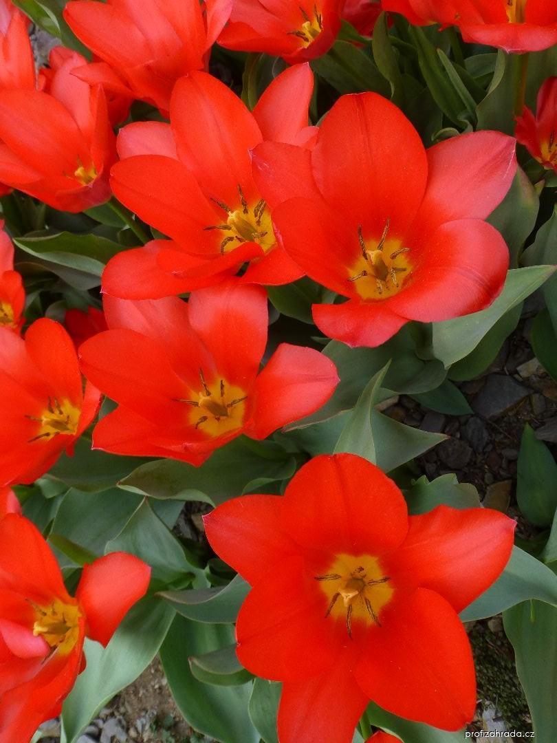 Tulipán Kaufmannův (Tulipa kaufmanniana Shakespeare)