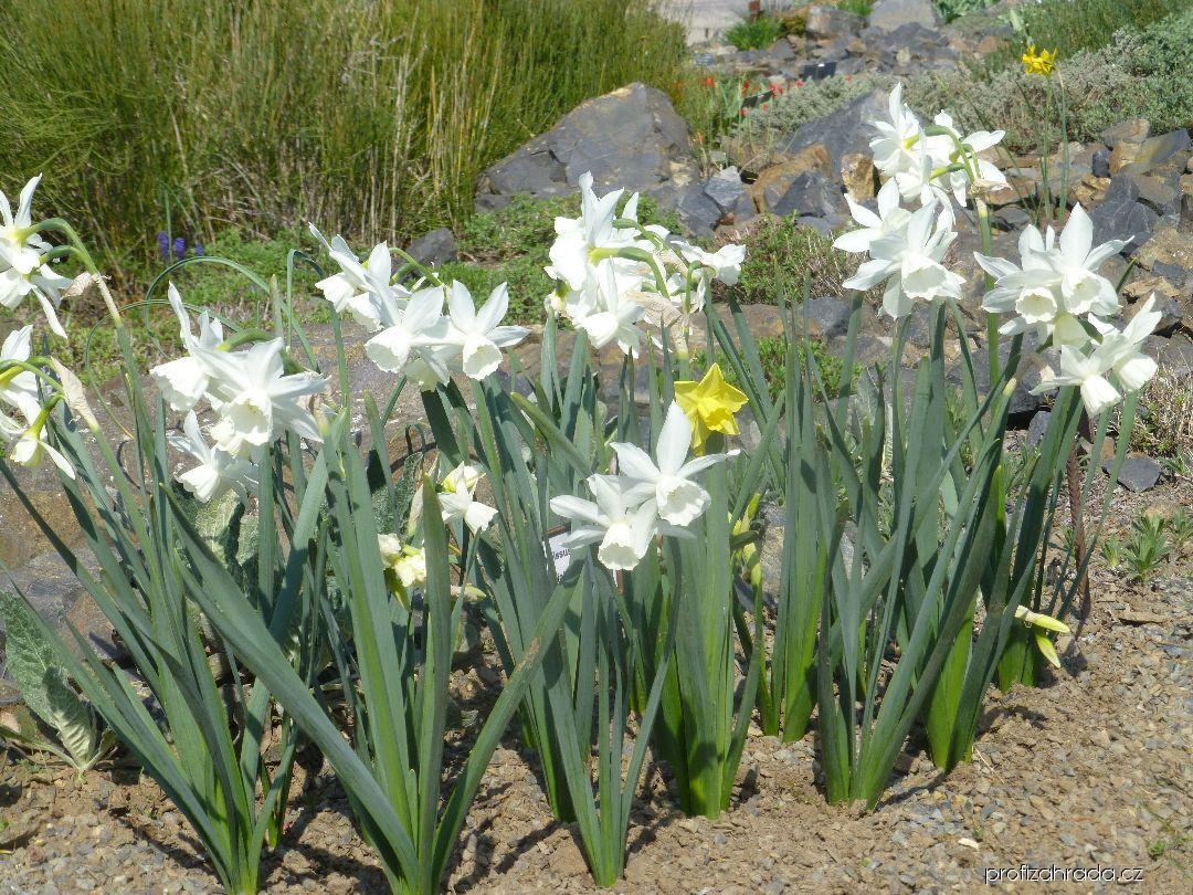 Narcis trojmužný Thalia - Triandrus narcisy (Narcissus triandrus)