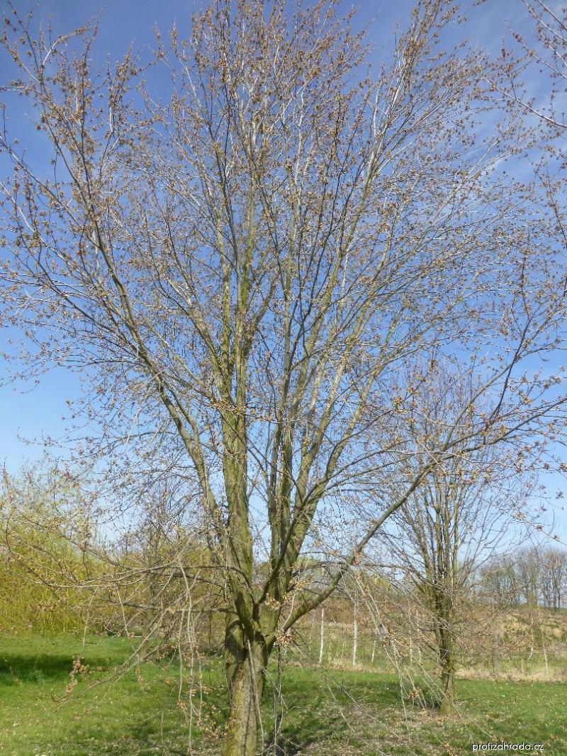 Javor stříbrný Pyramidale - habitus (Acer saccharinum)