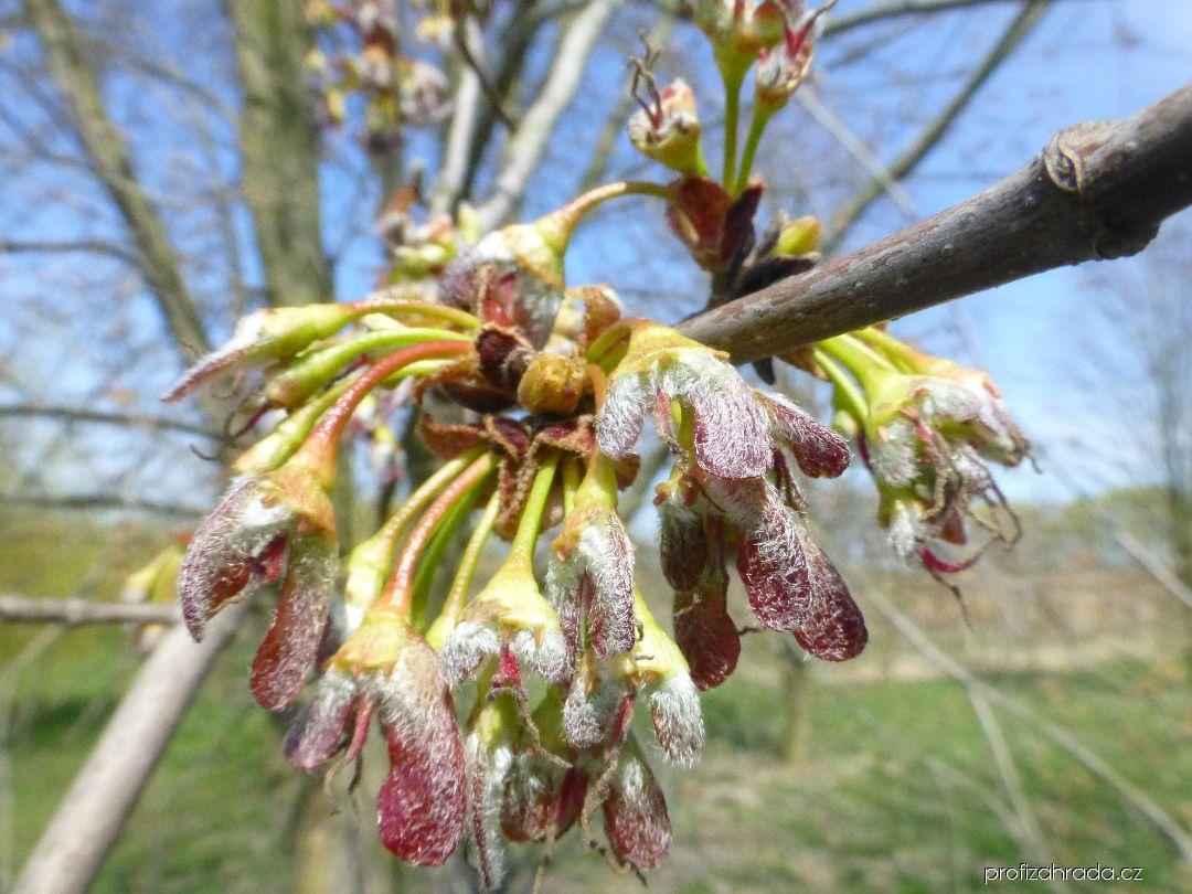 Javor stříbrný - po odkvětu (Acer saccharinum Pyramidale)