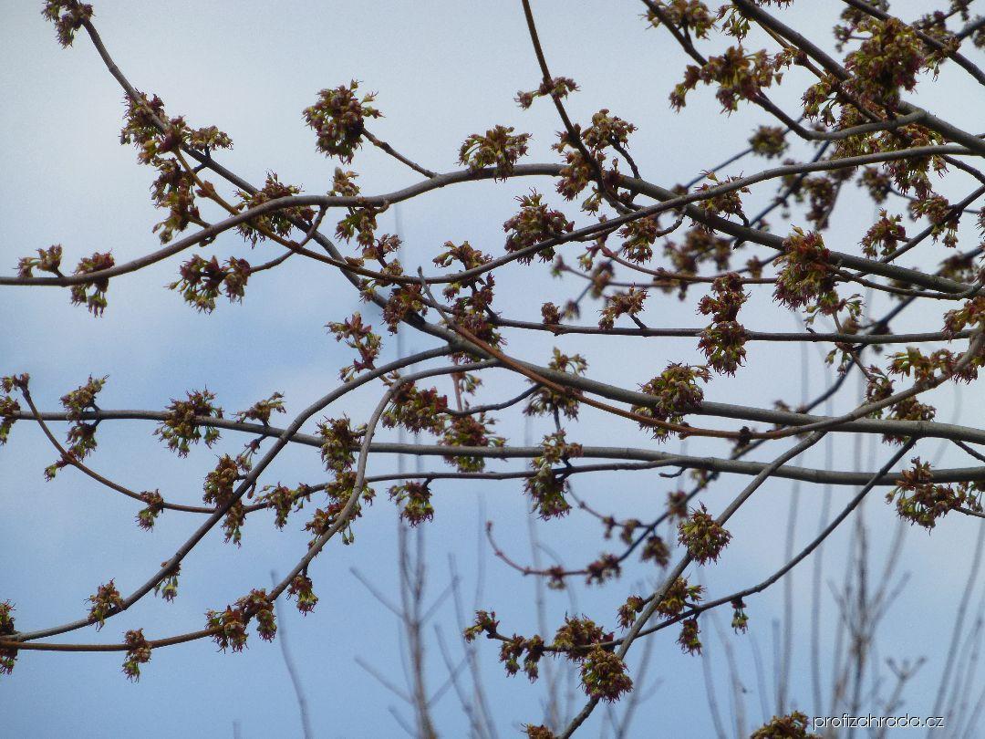 Javor stříbrný Pyramidale - větve s květy (Acer saccharinum)