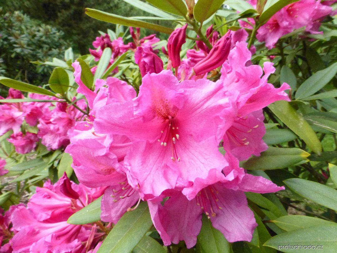 Pěnišník Fortuneův Direktör E Hjelm (Rhododendron fortunei)