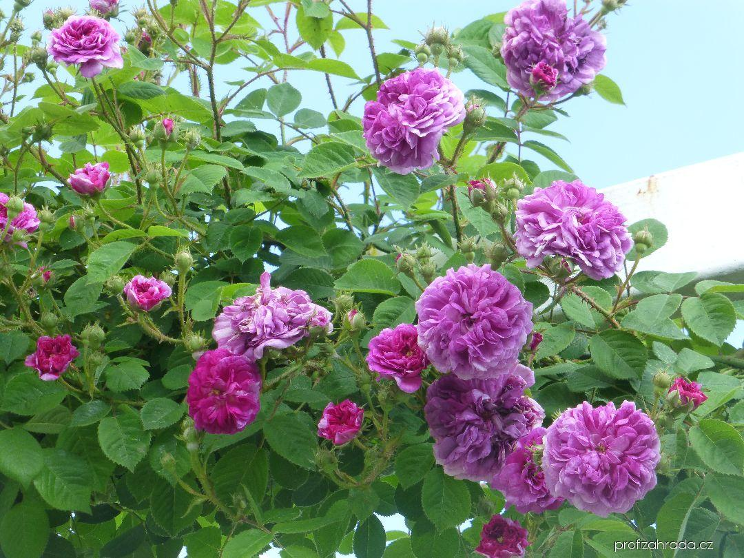 Růže Turners Crimson Rambler (Rosa)