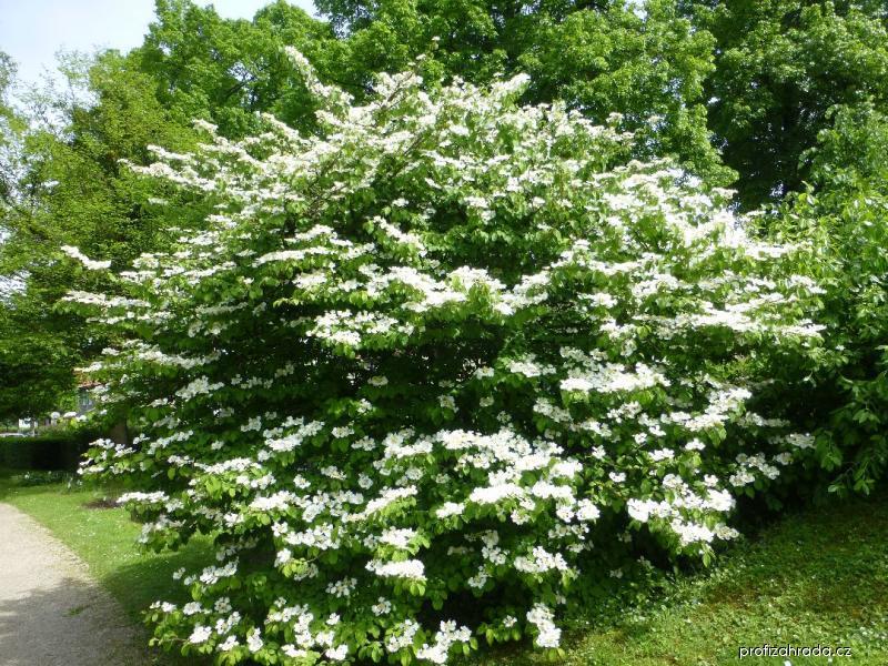 Kalina japonská Mariesii - habitus v květu (Viburnum plicatum)
