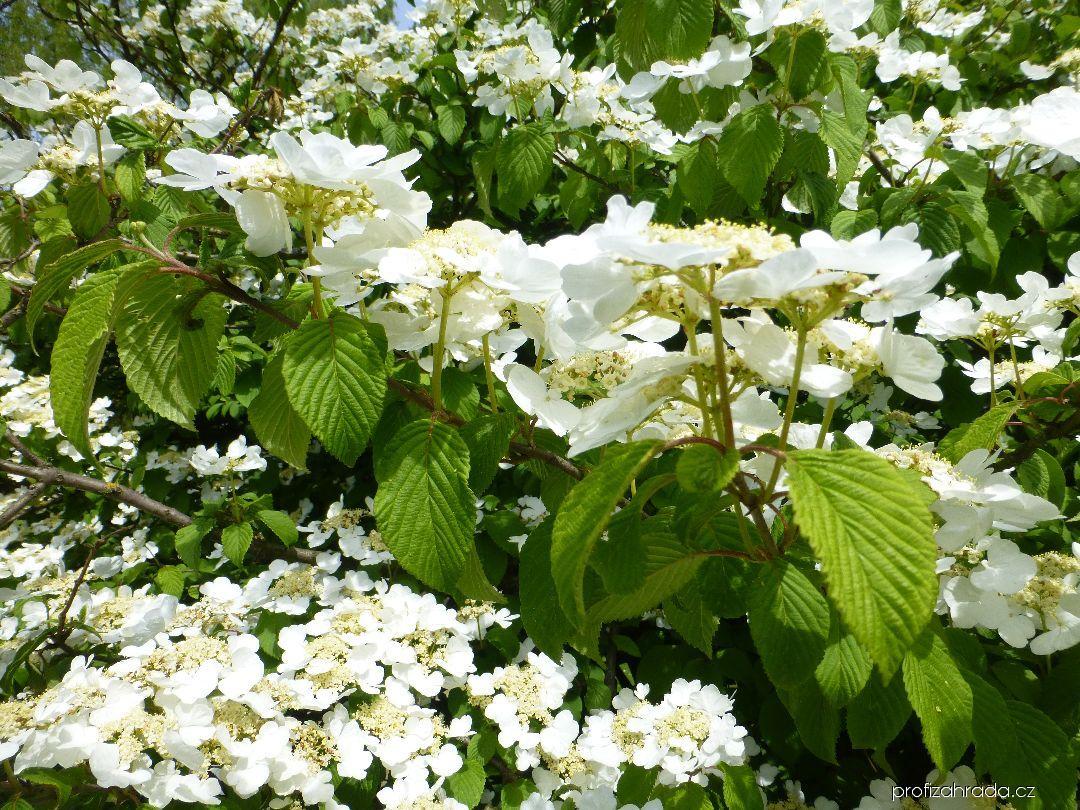 Kalina japonská Mariesii (Viburnum plicatum)
