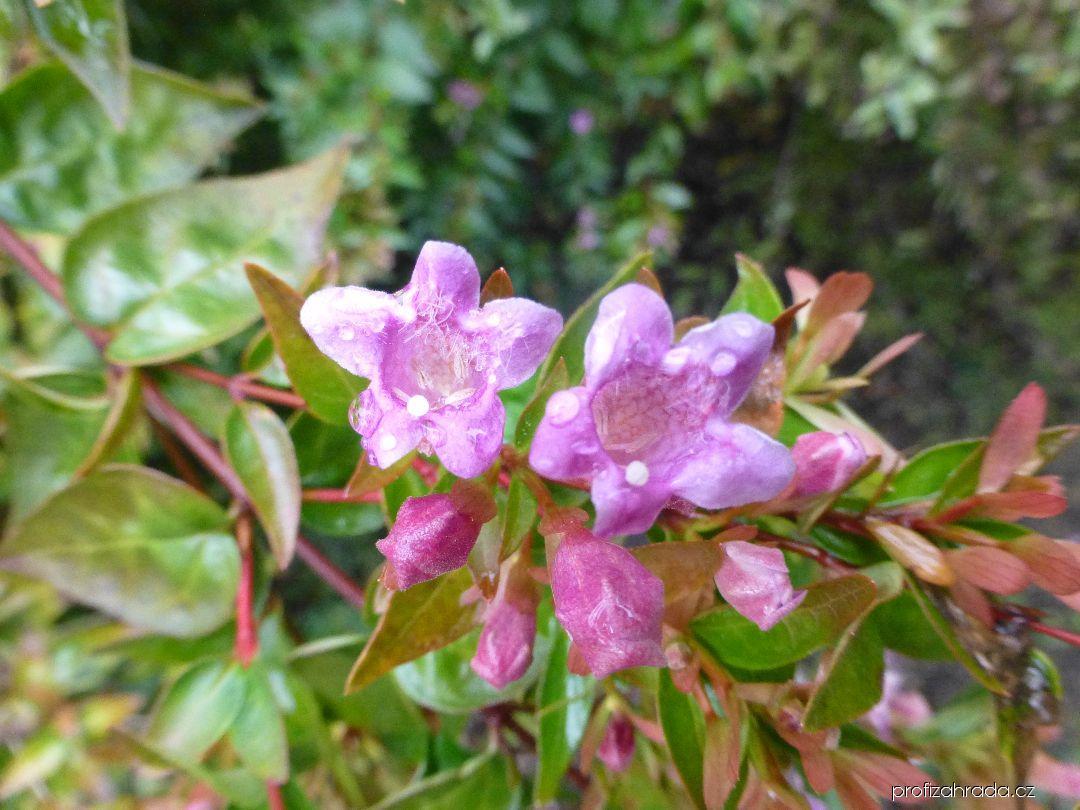 Abélie velkokvětá Edward Goucher - květ (Abelia x grandiflora)