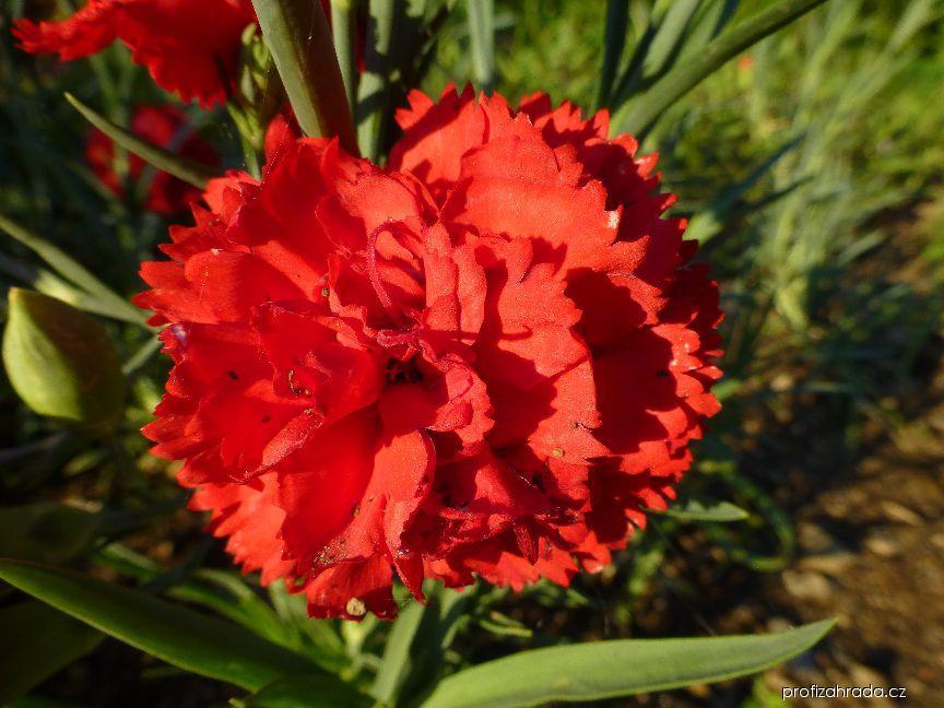 Karafiát zahradní Can Can Scarlet - květ (Dianthus caryophyllus)