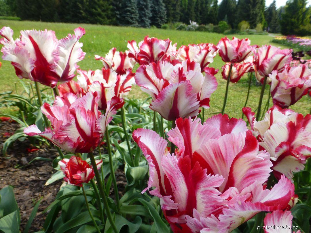 Tulipán Flaming Parrot (Tulipa x hybrida)
