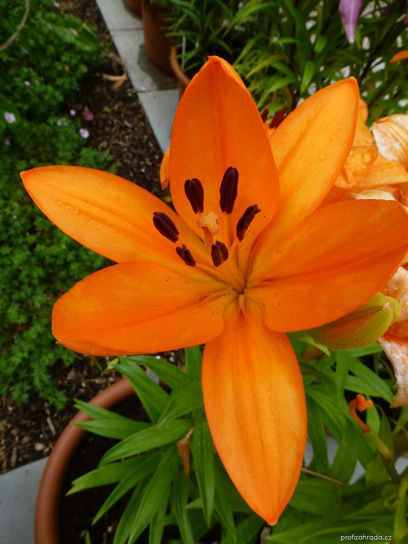 Lilie Montesa LA hybridy (Lilium x hybridum)