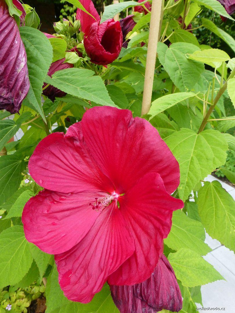 Ibišek bahenní Karmina (Hibiscus moscheutos)